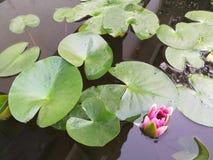 Lotus y sus hojas Imágenes de archivo libres de regalías