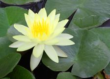 Lotus yellow. With green leaves Royalty Free Stock Photography