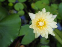 Lotus. A yellow lotus blooming in the pond Royalty Free Stock Photography