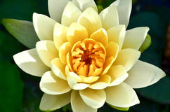 Lotus. Yellow lotus flower Stock Photos