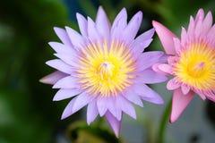 Lotus. Yellow pollen violet lotus bloom Stock Photo