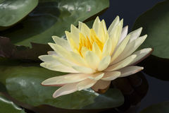 Lotus 144. Yellow lotus in the pond Royalty Free Stock Photo