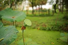 Lotus young pod. Edible seed stock photography