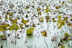 Lotus in yunnan China. Yellow,droop Stock Photo