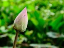 Lotus z zielonym liściem Fotografia Royalty Free