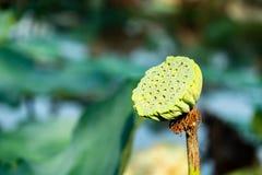 Lotus-zaden groen in een vijver royalty-vrije stock foto's