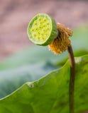 Lotus ziarna strąk Obraz Stock