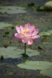 Lotus3 Photographie stock