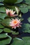 lotus3 różowe słońce fotografia stock
