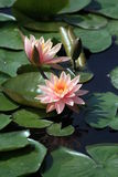 Lotus3 rose, en soleil Photographie stock
