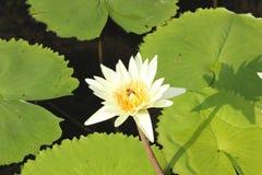 lotusbloem Royalty-vrije Stock Afbeelding