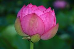lotusbloem Royalty-vrije Stock Foto