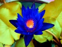 lotusbloem Royalty-vrije Stock Afbeeldingen