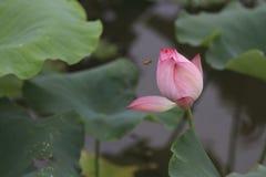 lotusbloem Stock Afbeelding