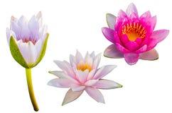 lotusbloem Stock Afbeeldingen