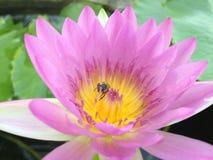 lotusbloem Royalty-vrije Stock Foto's