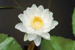 lotusbloem Stock Fotografie