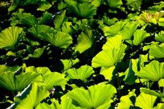 lotusbloem blad Royalty-vrije Stock Afbeeldingen