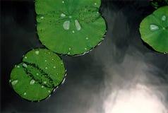 Lotusbloem-bladeren Stock Foto