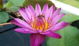 lotusbloem Bloei, bloemen, Bij royalty-vrije stock fotografie