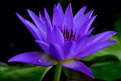 lotusbloem, bloem, blauw, stock afbeeldingen