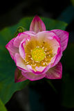 lotusbloem bloesem Royalty-vrije Stock Afbeeldingen