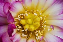 lotusbloem bloesem Royalty-vrije Stock Fotografie