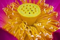 lotusbloem bloesem Stock Afbeeldingen