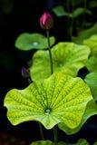 lotusbloem knop Royalty-vrije Stock Afbeeldingen