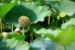lotusbloem peulen Stock Afbeeldingen