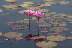 Lotusbloem twee in vijver Royalty-vrije Stock Foto's