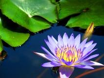 lotusbloembloem in aard royalty-vrije stock afbeeldingen