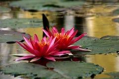 Lotusblomma #1 Arkivbilder