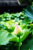 lotusblomma Royaltyfri Bild