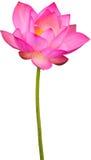 lotusblomma royaltyfria bilder