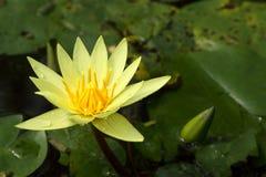lotusblomma Arkivbild
