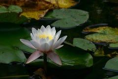 Lotusblomma #2 Royaltyfri Fotografi