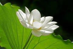 lotusblomma Royaltyfria Foton