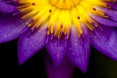 Lotusblomma Arkivfoton
