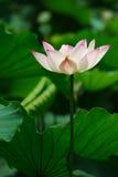 Lotusblomma 免版税库存照片