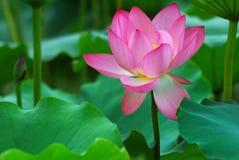 Lotusblomma 库存图片