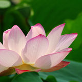 Lotusblomma Arkivfoto