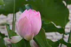 lotusblomma blomman, rosa färgen, liljan, vatten, naturen, lotusblomma rotar, Royaltyfria Bilder