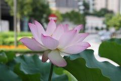 lotusblomma blomman, rosa färgen, liljan, vatten, naturen, lotusblomma rotar, Royaltyfri Fotografi
