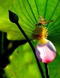 lotusblomma dragonfly2 Royaltyfria Bilder