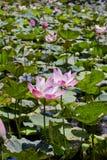 Lotusblomma för blomningrosa färgvatten rosa vatten för lilja Arkivbild