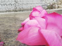 Lotusblomma för röd färg erbjöds till Lord Buddha Royaltyfri Fotografi