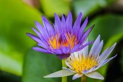 Lotusblomma i damm Arkivfoto