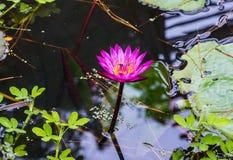 Lotusblomma i damm Arkivbild