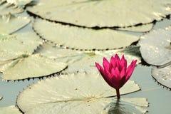 Lotusblomma i laken Arkivbilder